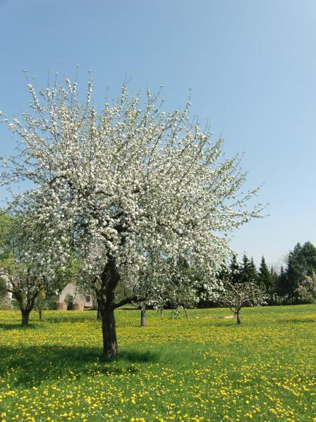 Im Blütenregen: Apfelbäume in Blüte ringsum