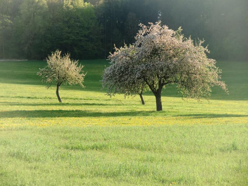 Apfelblüte - traumhaft