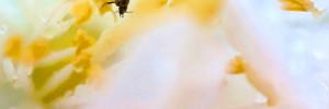Ein Käfer in einer Jasminblüte