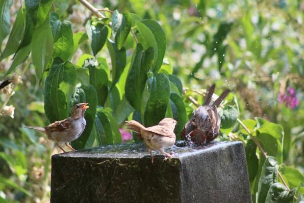 Spatzen nehmen in der Sommerhitze ein Bad